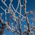 frosty branches at Capitol Reef National Park, Torrey, Utah