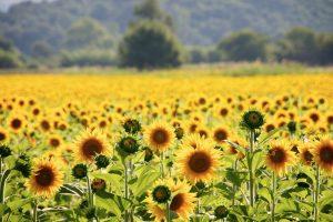 Bright sun shining on sunflower field, Platamonas, Greece